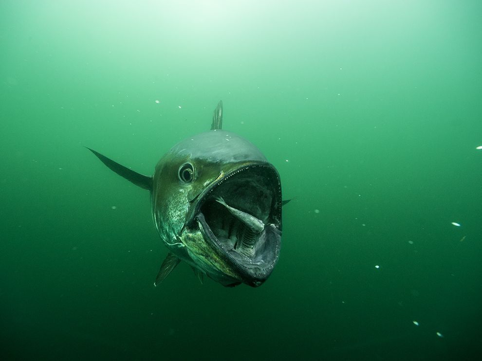 Bluefin Tuna Picture -- Underwater Photo -- National Geographic Photo of the Day
