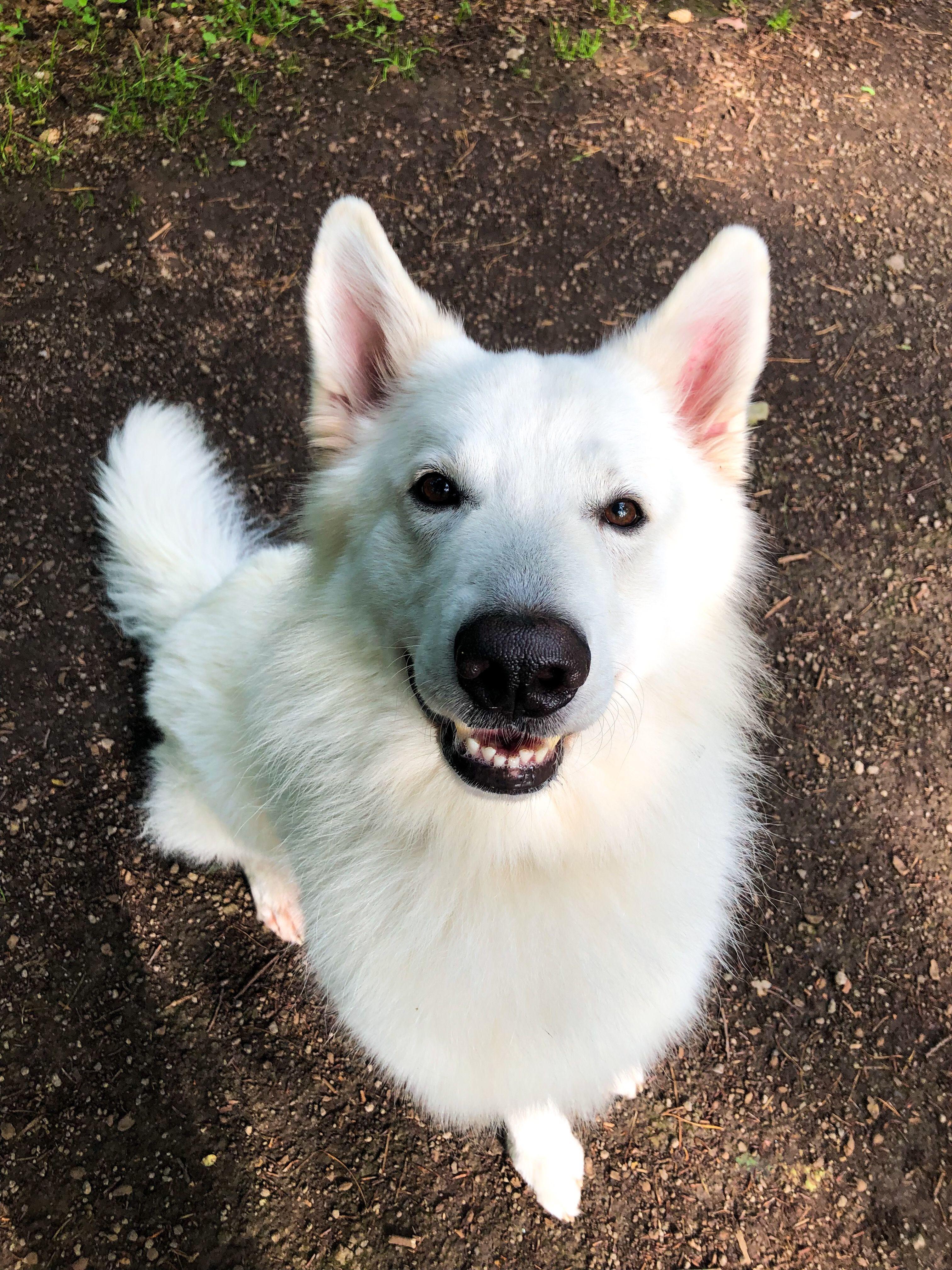 Happy Dog Weisser Schaferhund Schaferhunde Hunde