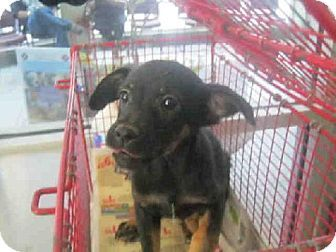 ... San Antonio, Texas · BUDDY Labrador Retriever Young - Adoption, Rescue