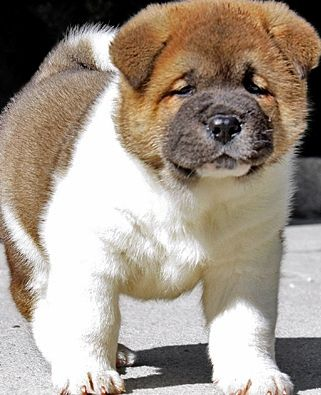 Top Akita Chubby Adorable Dog - 0b39f18175e01abee68d2184bdca3efd  Photograph_653317  .jpg