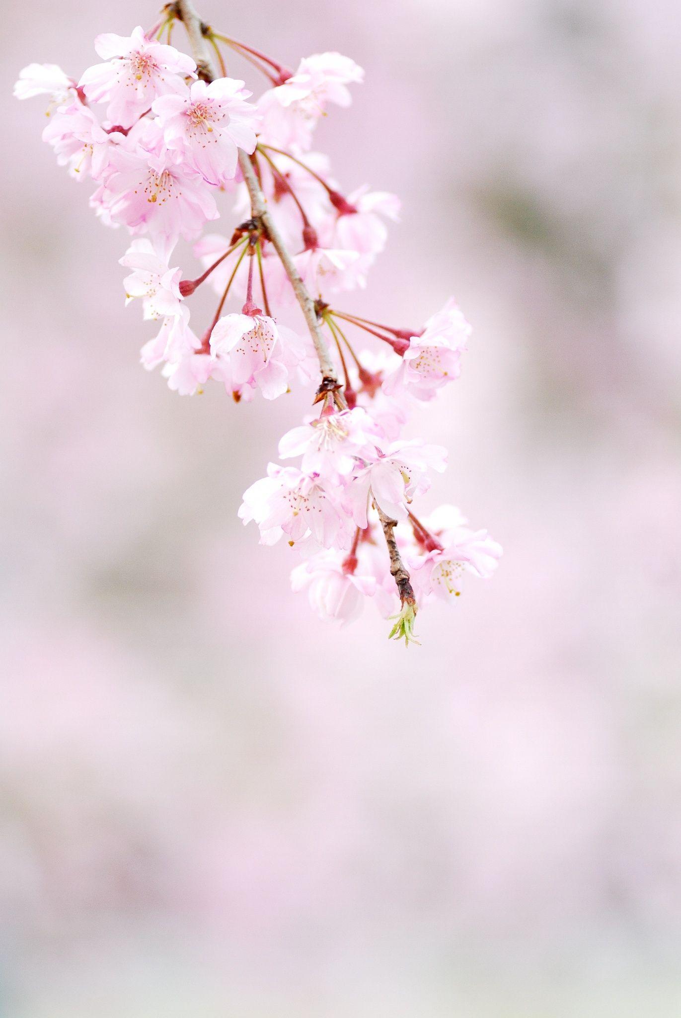 Weeping Cherry Cherry Blossom Girl Cherry Blossom Tree Beautiful Flowers