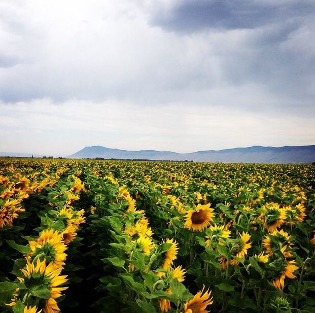 Union Oregon Sunflower Field In Front Of Mt Emily Around La Grand 5 Hours Straight East La Grande Oregon Things To Do Seattle Eastern Oregon