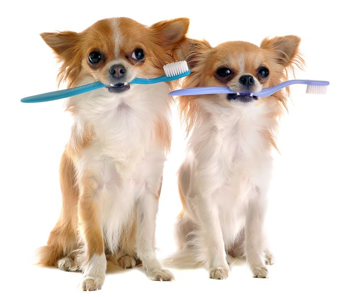 Chihuahuas With Toothbrush Dog dental, Pet clinic, Dog