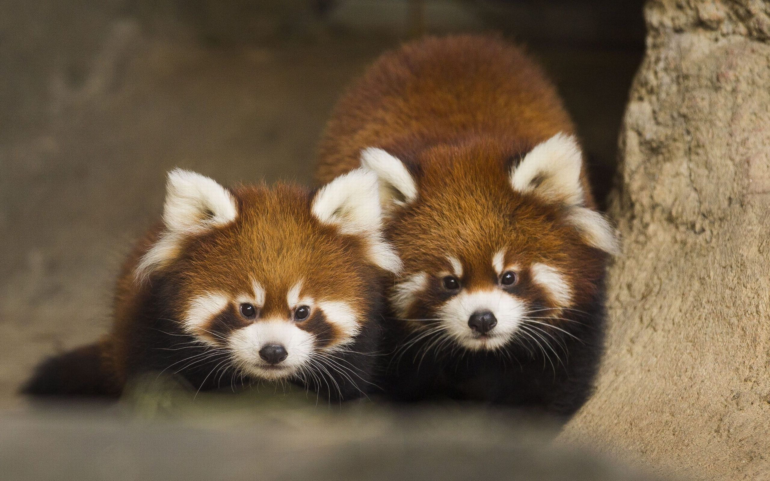 Animals Zoo Park Cute Dogs Wallpapers For Desktop Cute: Cute Red Panda Wallpaper HD For Desktop Of Cute Animal