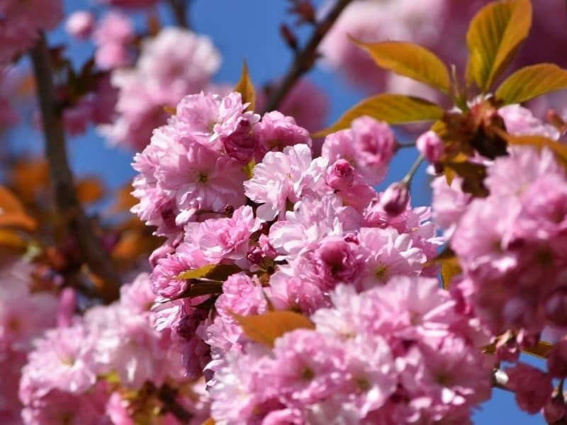 Spectacular Meaning And Symbolism Of Cherry Blossoms To Know Florgeous Cherry Blossom Flowers Cherry Blossom Symbolism Blossom
