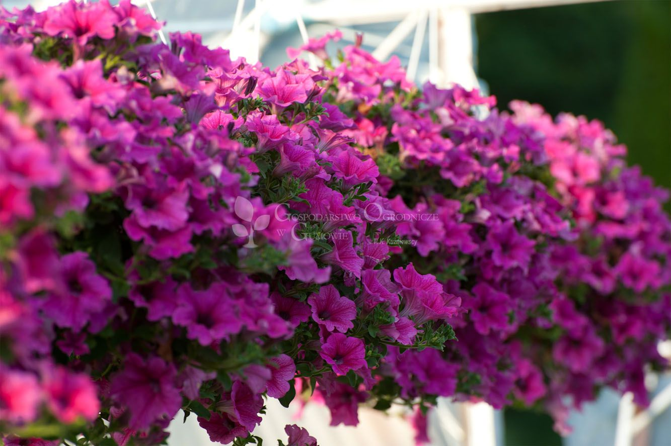 Surfinia sadzonki od maja na balkon wysiew w domu z for Surfinia balcone