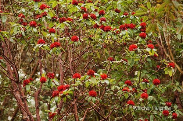 Rhododendron Bakeri | Rhododendron barbatum (Inverewe)