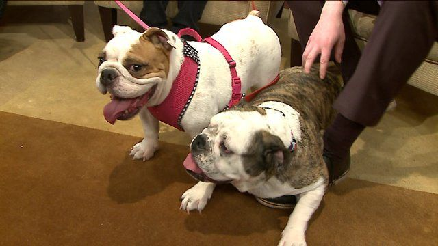 Adopt A Pet Chicago English Bulldog Rescue Bulldog Rescue Best