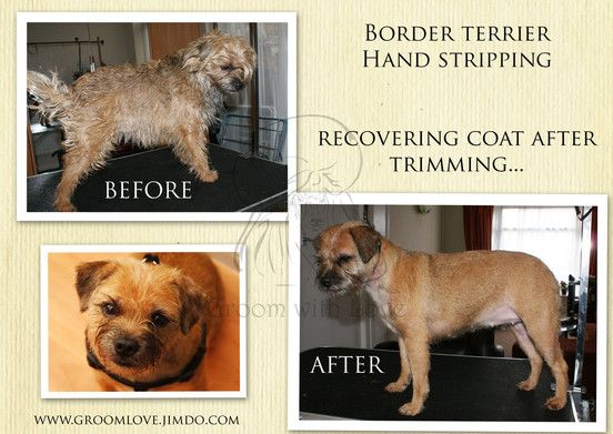 Stripping A Border Terrier Step By Step Guide Dog Grooming