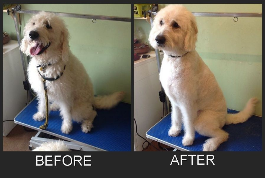 Henri The Labradoodle Before And After His Groom Medium Dogs