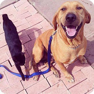 Honolulu Hi Labrador Retriever Shar Pei Mix Meet Rex A Dog For Adoption Http Www Adoptapet Com Pet 1119084 Labrador Retriever Pet Adoption Dog Adoption