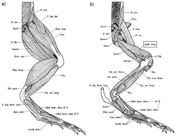 leg anatomy legs and frogs on pinterest : frog leg muscle diagram - findchart.co