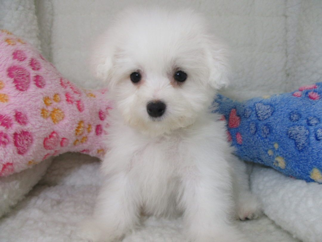 Bichon Frise 7043 Puppies For Sale At Breeders Club Puppies