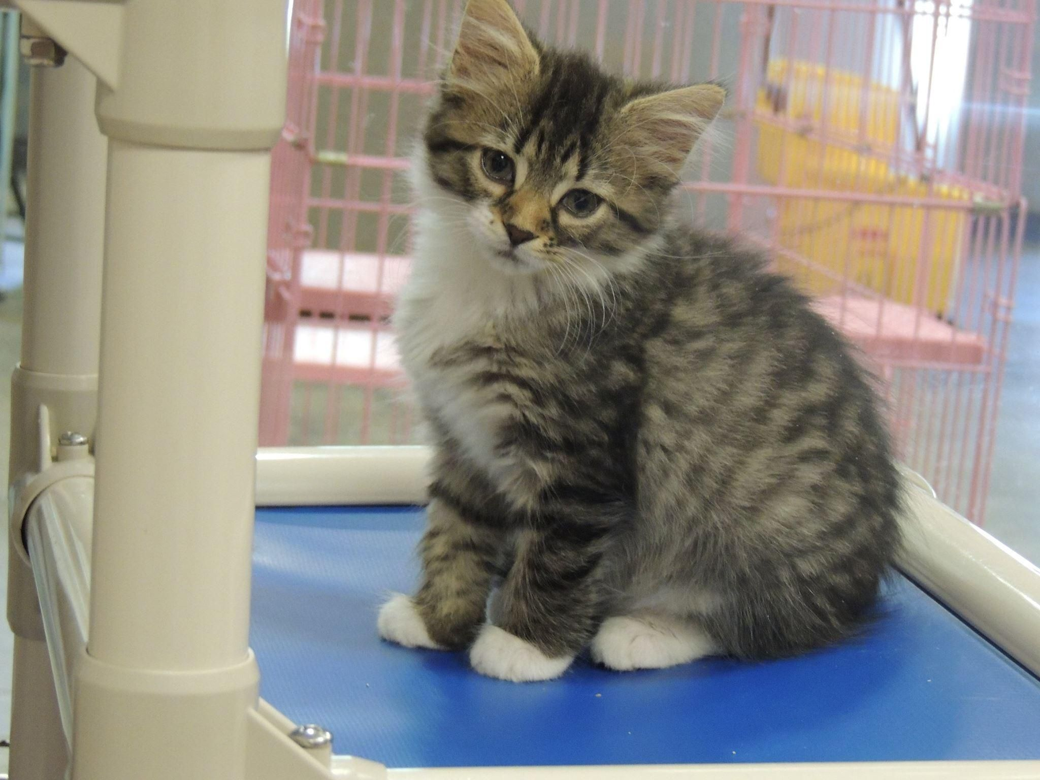 Jefferson is an adoptable Tabby Brown searching for a