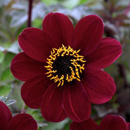 dahlia 'bishop of auckland' (dahlia à fleur simple) : vivaces