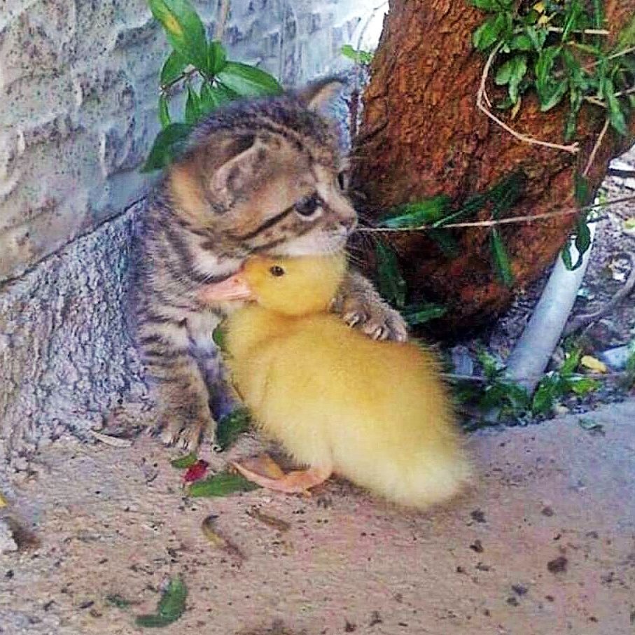Kitten N Ducky Animals Friendship Cute Animals Animals Beautiful