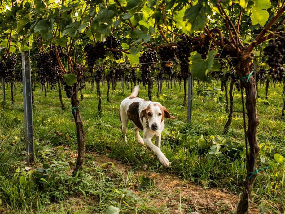 10 DogFriendly Wineries in Virginia and Maryland Dog