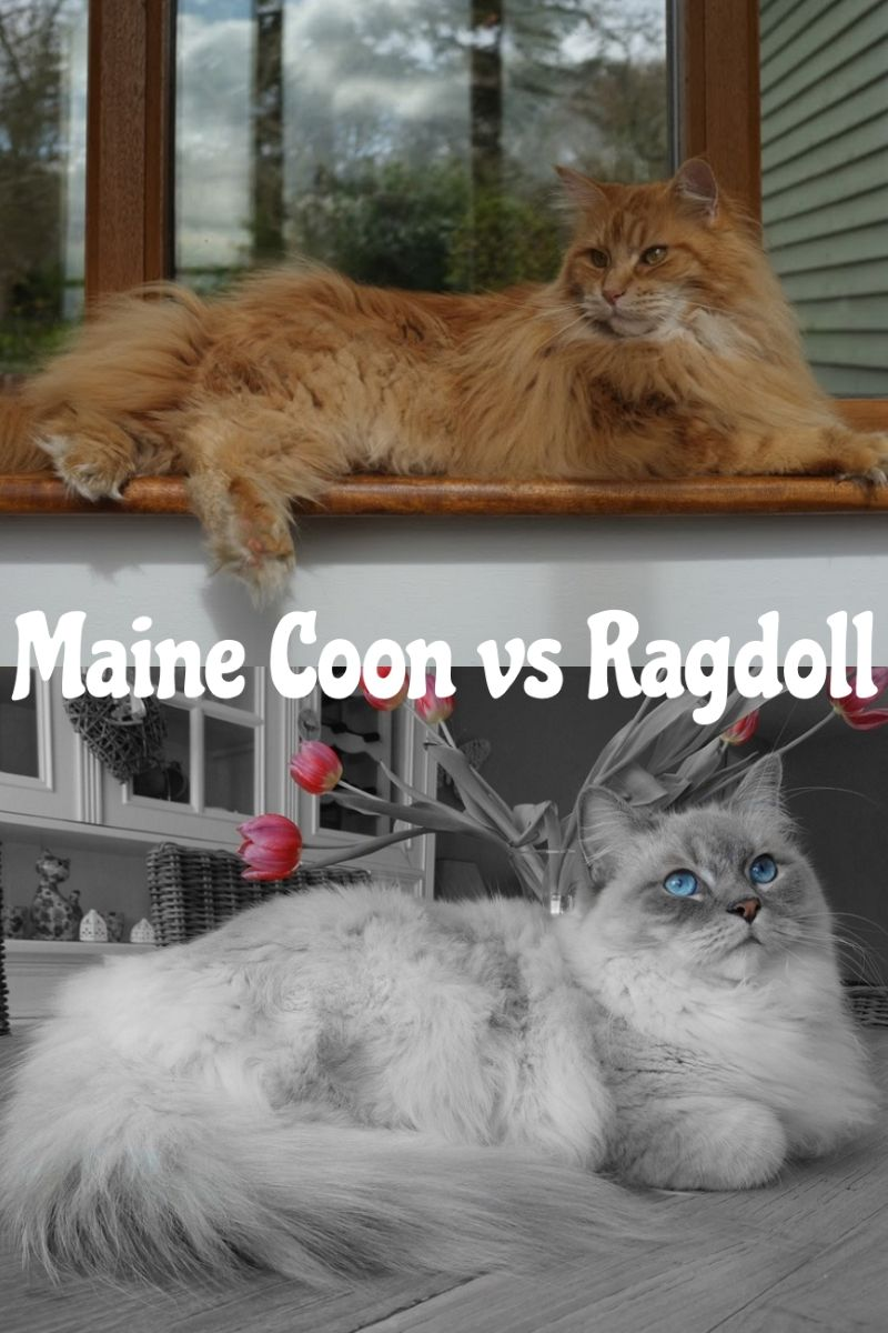 Pin On Maine Coon Questions And Answers