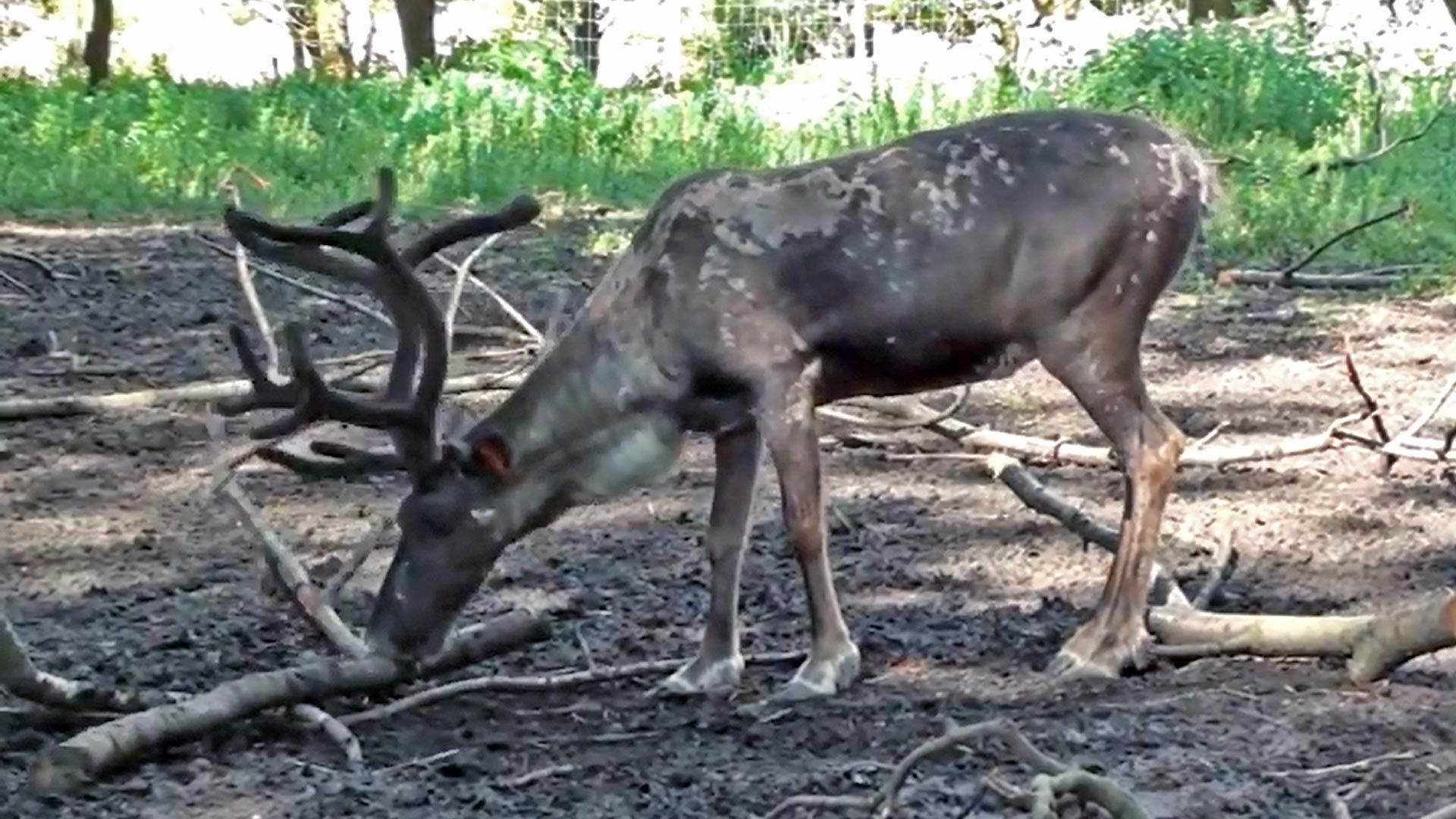 This Is A Short Reindeer Clip That Allows Children To See