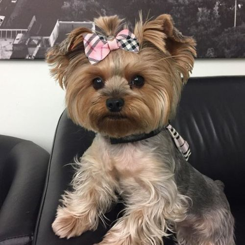 Love The Hair Bow On This Yorkie Yorkies Pinterest Dogs