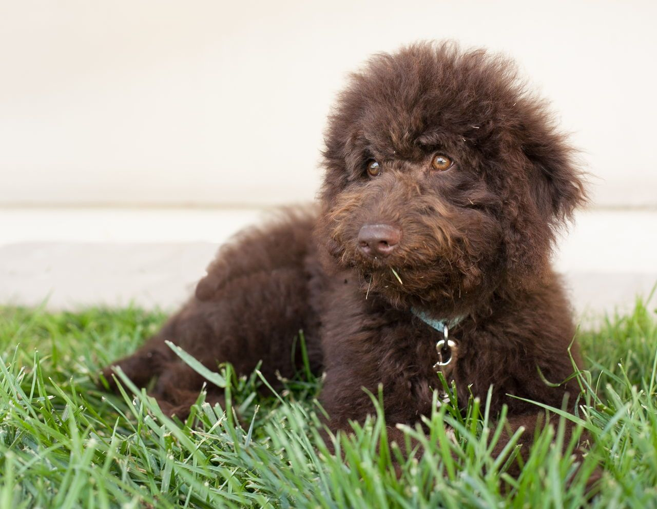 Chocolate Doodle Puppy Names References