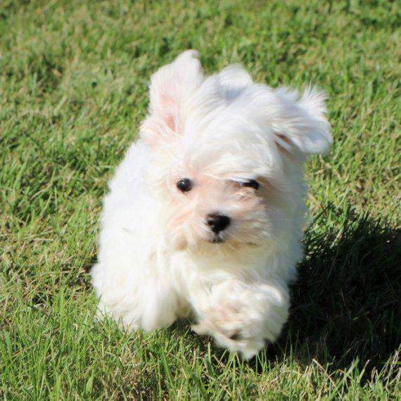 Joplin A Maltese Puppy Maltese Maltese Dogs Puppies Maltese