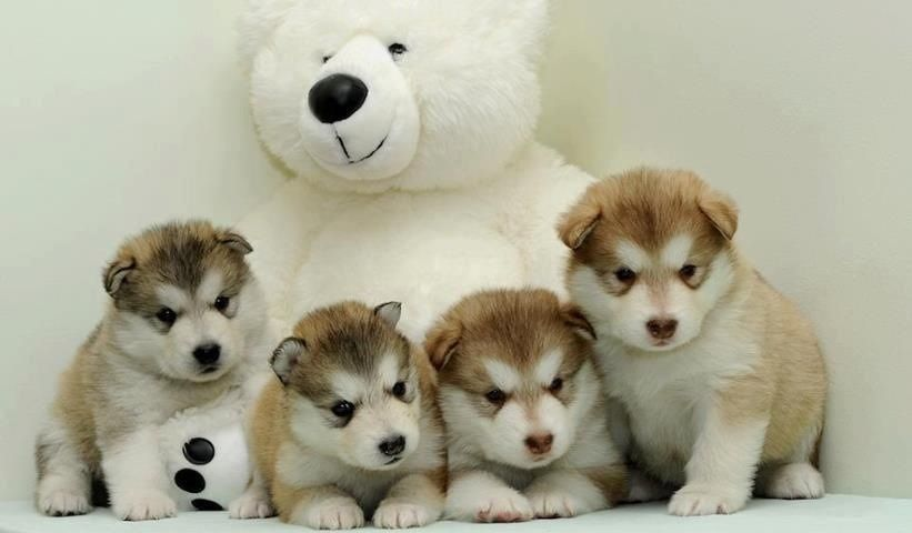 Cute Teddy Bear Stuffed With Love Malamute Puppies