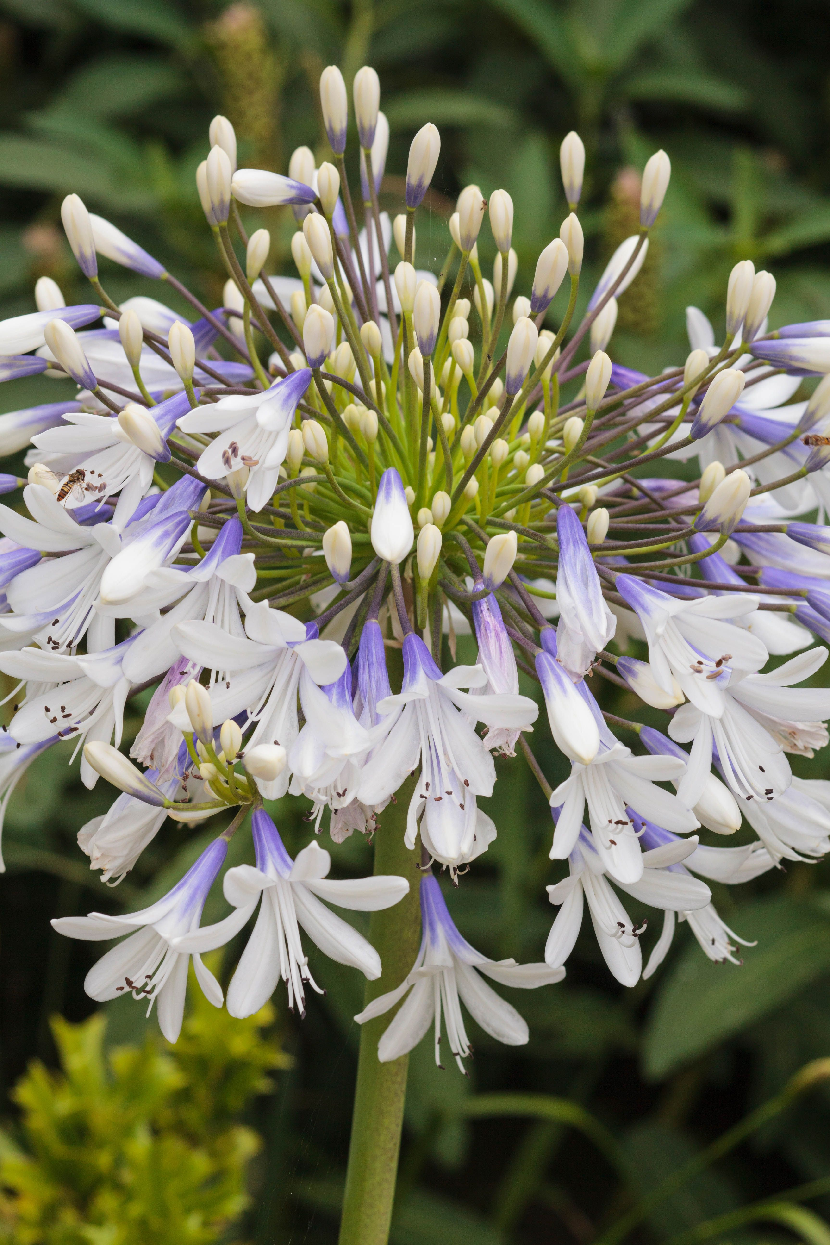 Prolific Flowering Queen Mum Lily Of The Nile Monrovia Queen Mum Lily Of The Nile Asian Landscape Monrovia Plants Flower Pots