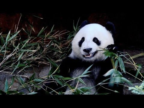 This video is about Pandas at the zoo. Featuring Xiao Liwu and Bai Yun, pandas from the San Diego Zoo The panda, (Ailuropoda melanoleuca) is a bear native to...