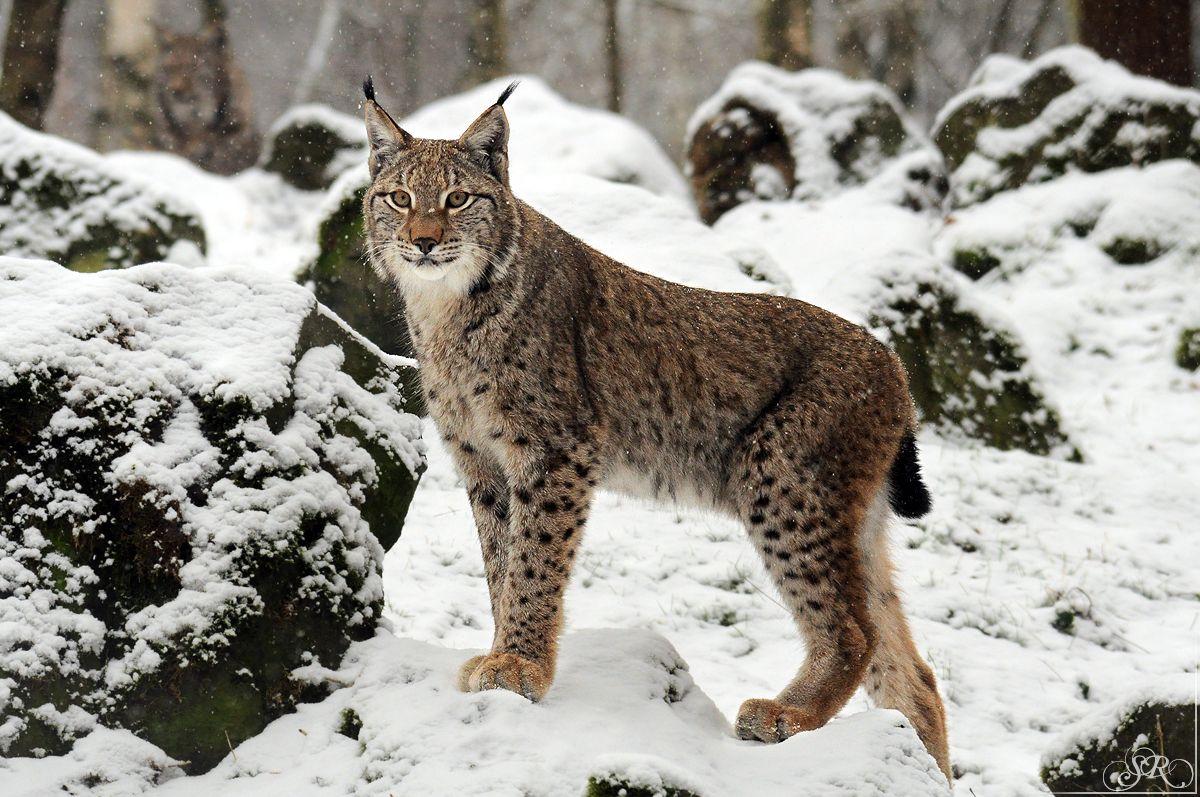 "metazoaetcetera "" The Eurasian lynx (Lynx lynx) is a"