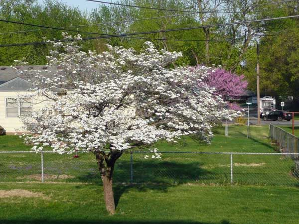 Top 5 Small Tree Inspirations Outdoortheme Com Small Trees Plants For Planters Dogwood Trees