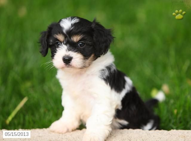 Dasher Cavashon Puppy For Sale In Gordonville Pa Cavashon Puppy For Sale Cavachon Puppies Cavachon Puppies For Sale
