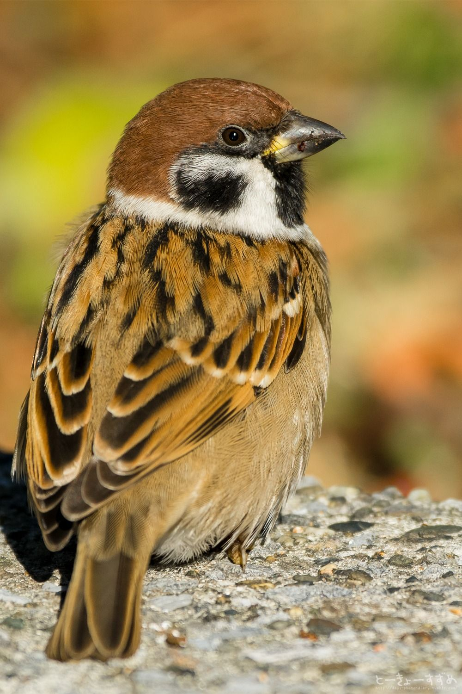 sparrow birds pinterest bird feathers and animal