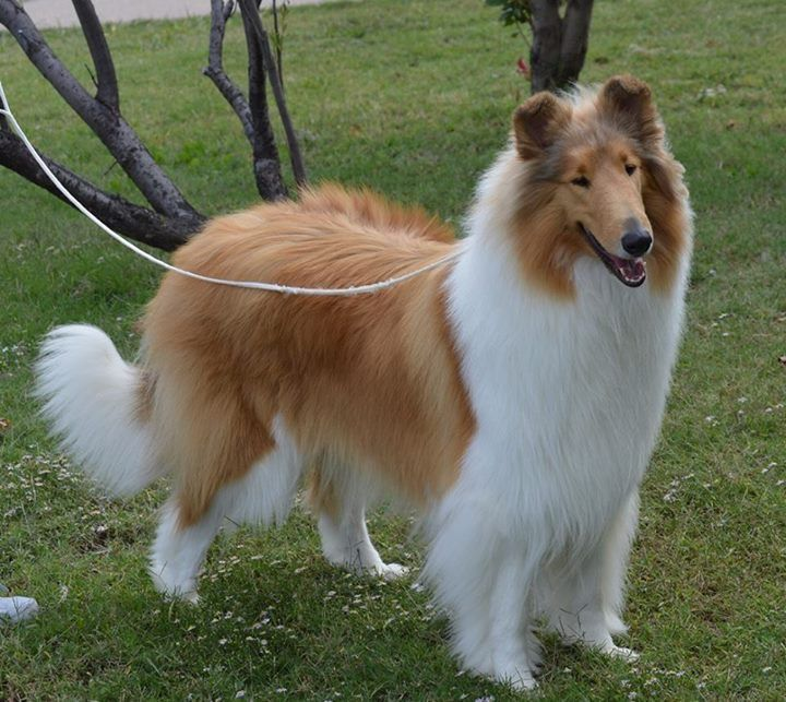 Beautifully Groomed Collie Puppies Sheltie Dogs Collie Dog