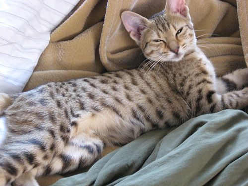 The Different Types of Tabby Patterns Catster Spotted
