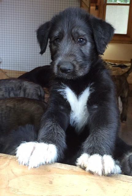 Anonymous Said Irish Wolfhounds Answer D Bubbas Irish Wolfhound Puppies Wolfhound Puppies Irish Wolfhound