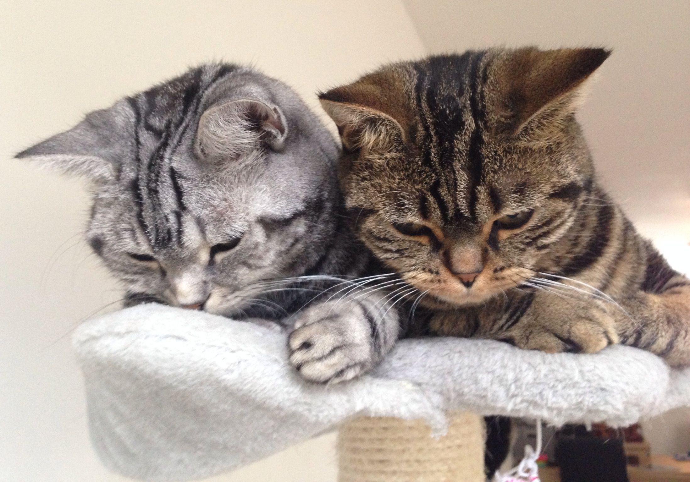 British Shorthair Brits Korthaar Cat Golden Tabby Blotched