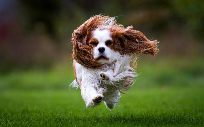 Chien Volant télécharger fonds d'écran cavalier king charles spaniel, chien