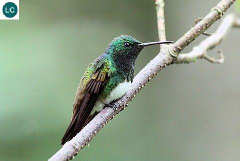 https://www.facebook.com/WonderBirdSpecies/ Snowy-bellied hummingbird (Amazilia edward); Costa Rica, Panama and north-western Colombia; IUCN Red List of Threatened Species 3.1 : Least Concern (LC)(Loài ít quan tâm)    Chim ruồi bụng tuyết; Costa Rica, Panama và tây-bắc Colombia; HỌ CHIM RUỒI - TROCHILIDAE (Hummingbirds).