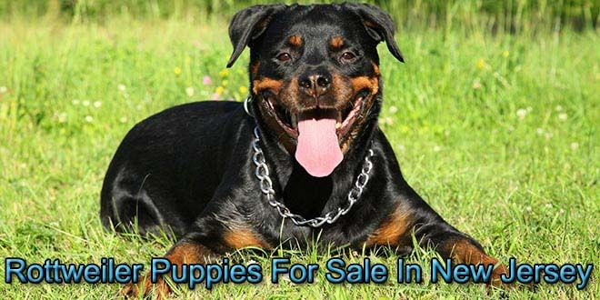 In New Jersey Rottweiler puppies for sale, Rottweiler