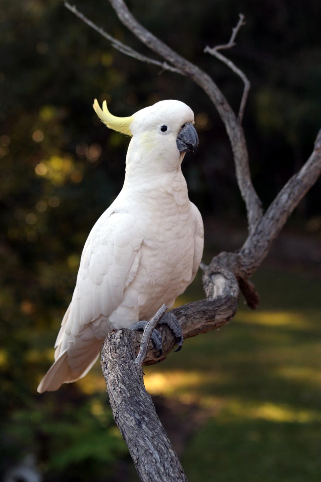 The Sulphur-crested Cockatoo (Cacatua galerita) is a relatively ...
