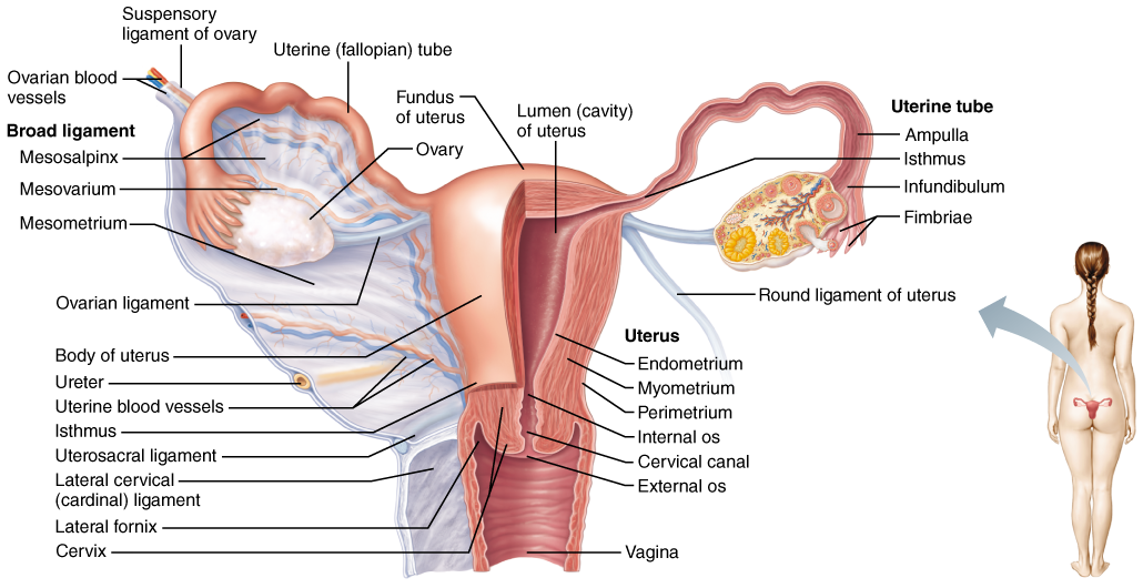 The Female Reproductive System | Anatomy | Pinterest