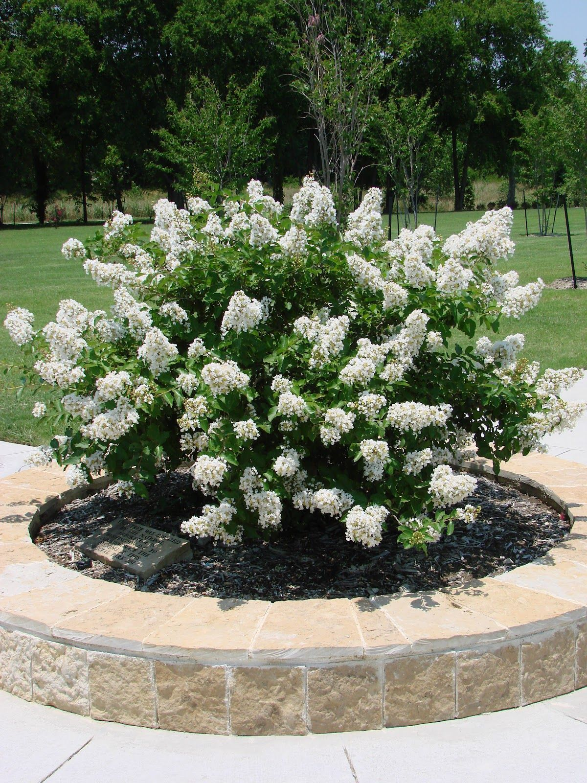 Handy Hints Crape Myrtle Or Crepe Myrtle Plants