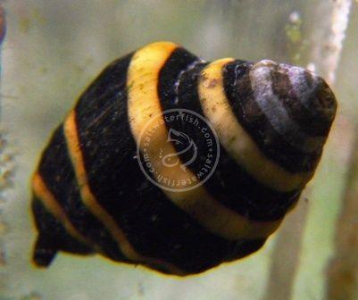 Bumble Bee Snail Group Of 10 Invertebrates Snails Snail Bumble Bee Bumble