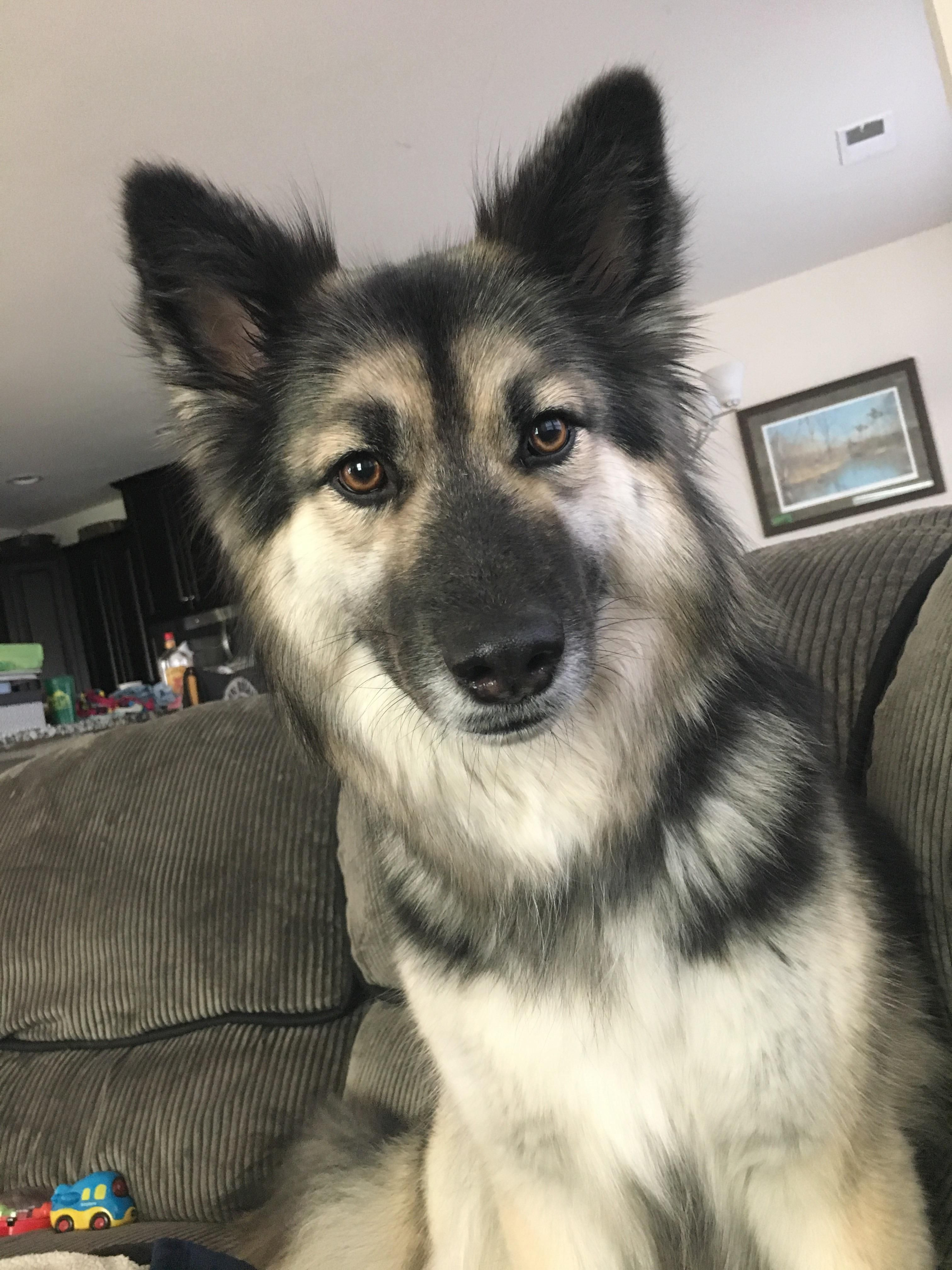 Gerberian Shepsky Shelby Dogpictures Dogs Aww Cuteanimals Dogsoftwitter Dog Cute German Shepherd Husky Mix German Shepherd Husky Husky Mix