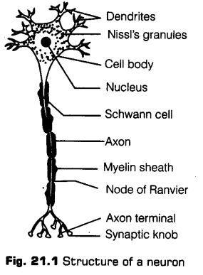 neural-control-coordination-cbse-notes-class-11-biology-1