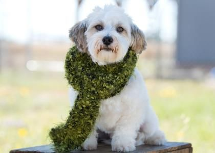 Petango Com Meet Jeff A 3 Years 5 Months Havanese Available For Adoption In Colorado Springs Co National Mill Dog Rescue S Dogs Save A Dog Rescue Dogs