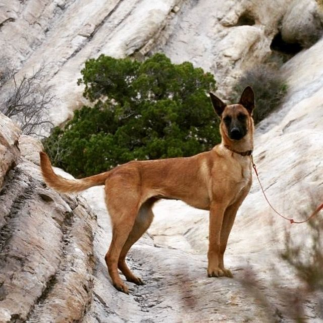 Available Malinois Www Woofproject Org Belgian Malinois Dog