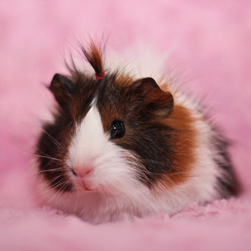little guinea pig girl