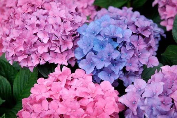 ortensia: come coltivarla in vaso o in giardino (greenme.it)   blog - Un Piccolo Giardino Fragrante